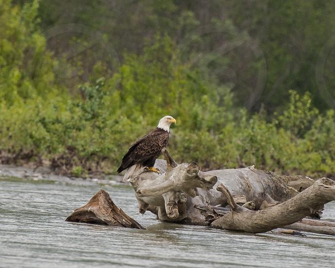 Chilkat Bald Eagle Preserve Haines Alaska photo