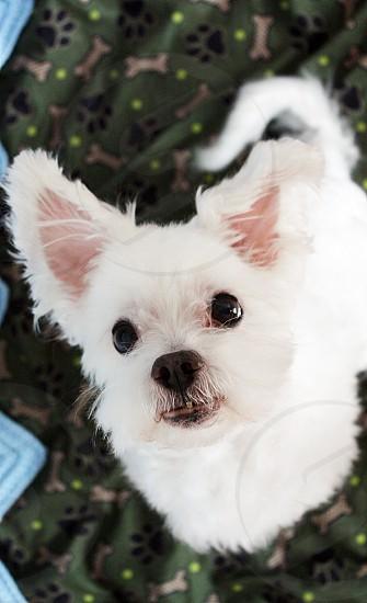 Dog cute animal pet malti-poo Maltese photo