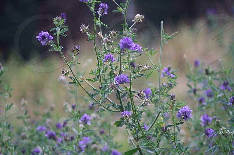 Wildflowers spring purple green spring in New Mexico  photo