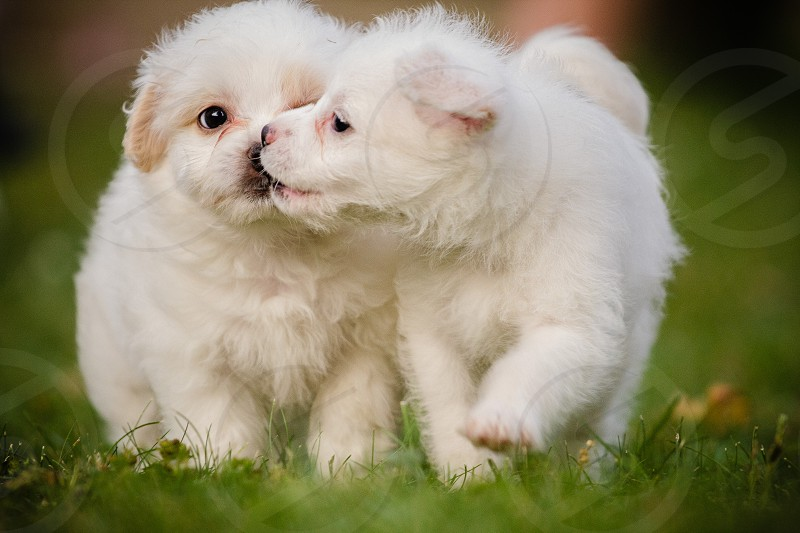 two short-coated white puppies on green grass field photo