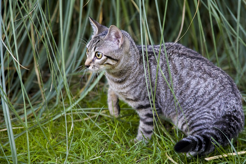 A striped kitten hunts in the grass on the lawn photo