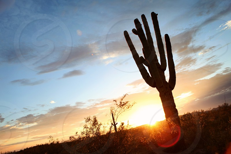 Saguaro cactus in the Arizona desert during sunset. photo