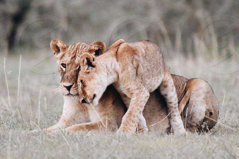 Lions Africa Uganda Safari photo