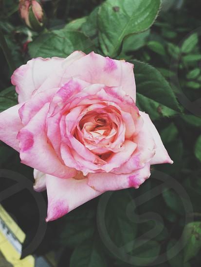 Pink beauty  photo