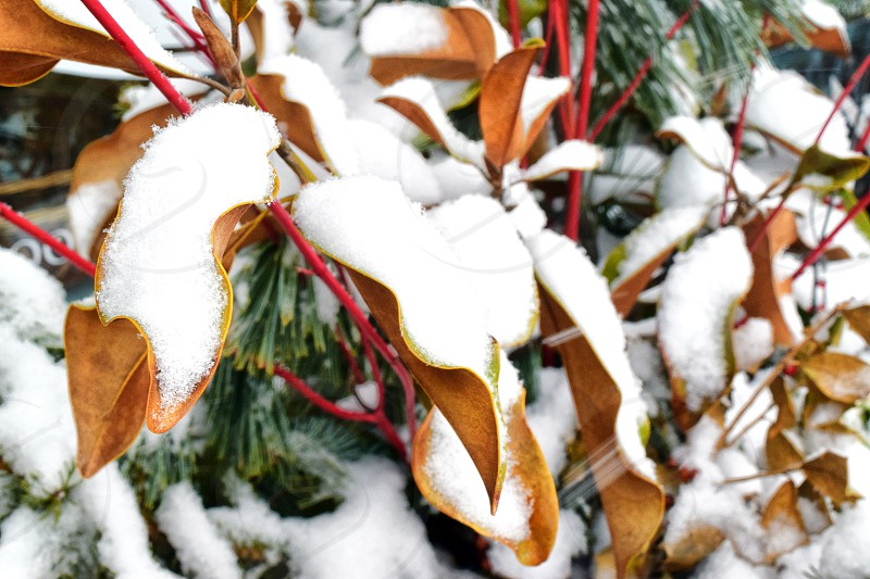 ice cold leaf leaves color snow winter frozen photo