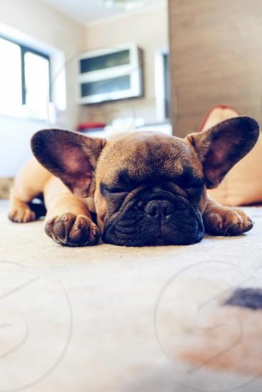 Sleepy frenchie photo