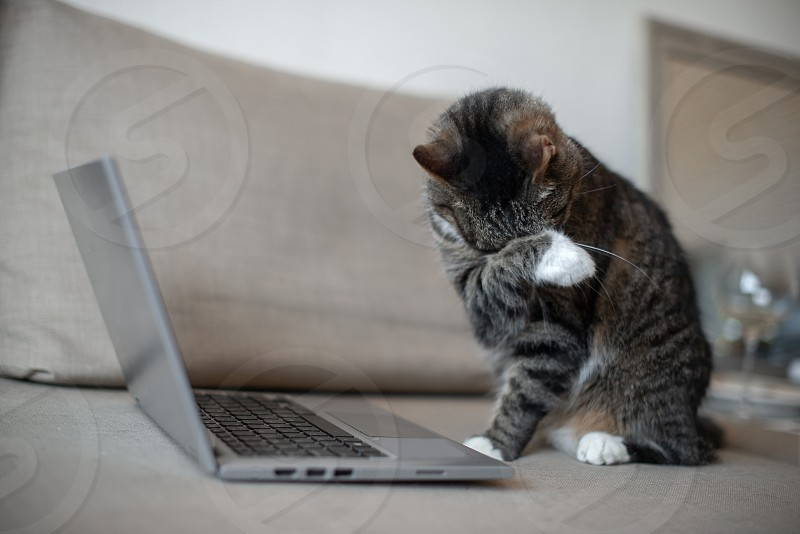 domestic cat using laptop on the couch at home photo