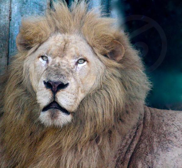 maned lion photo