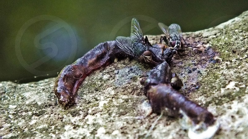 Flies eating a dead worm. Gross! photo