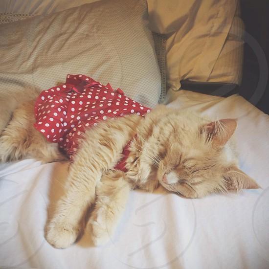 Cat kitten pet dress sleep photo