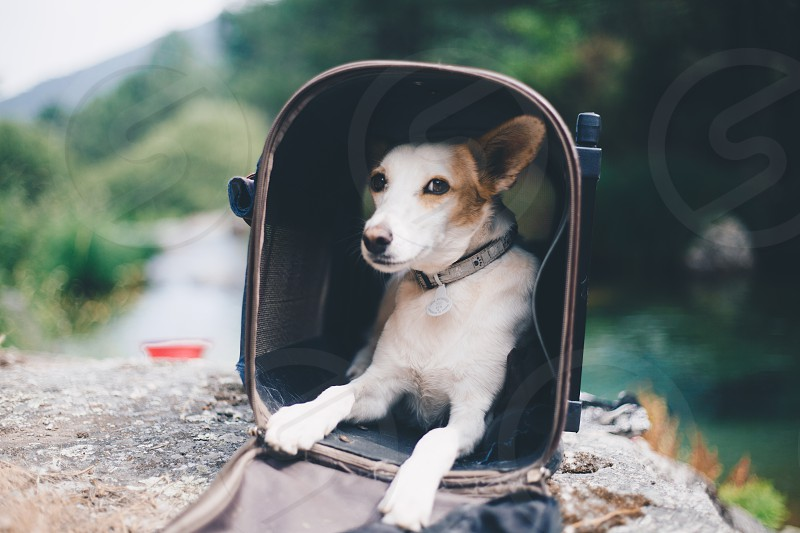 Dog podenco on her travel bag next to the river in Gredos photo