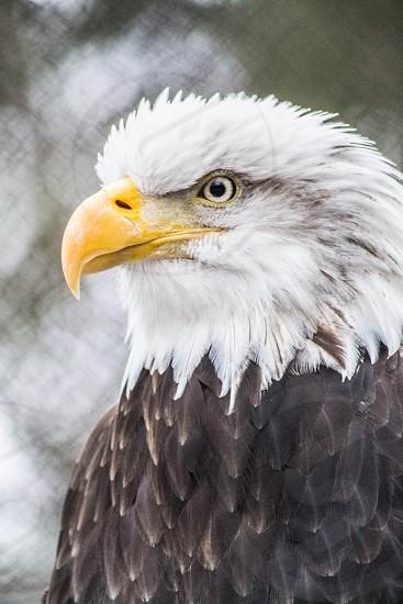 Bald Eagle Closeup photo