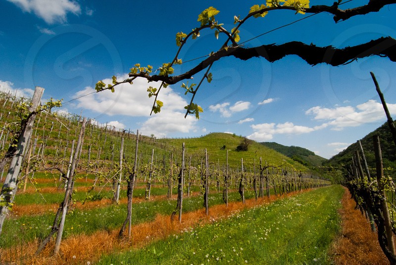 grape fields photo
