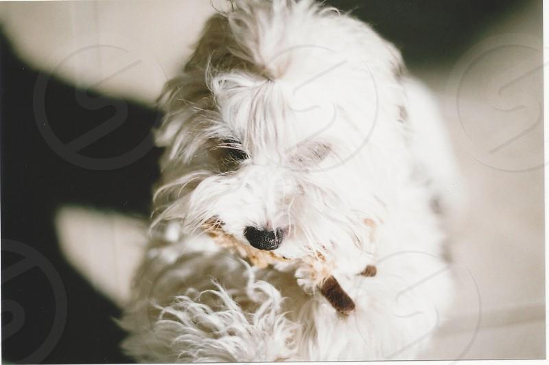Cute adorable fluffy Austin puppy photo