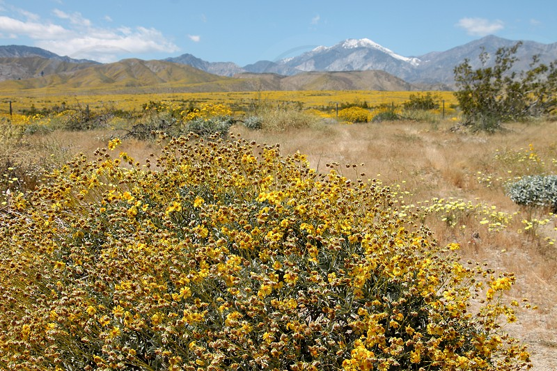 Super bloom of yellow wildflowers cover a field near snow-capped mountains photo