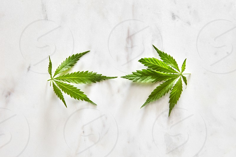 Fresh natural green leaves of marijuana on a gray marble background with copy space. Flat lay. Concept use of cannabis for medical puposes. photo