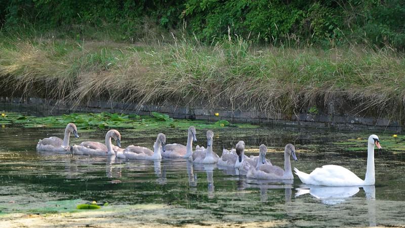 River  Swan Swans Water Family  Natute Cute photo
