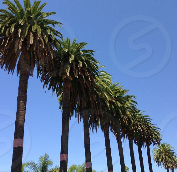 Row of California palm trees against the blue sky photo