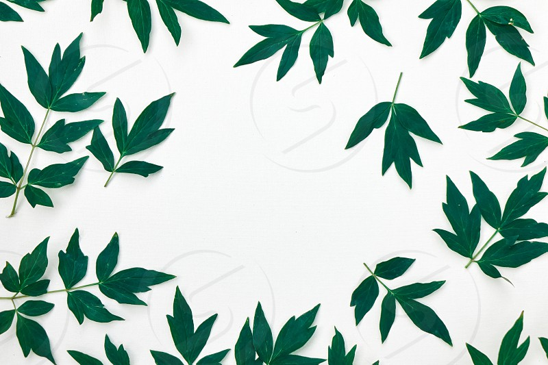 Green foliage of a peony plant top view of a composition of a pattern of green leaves isolated on a white background. photo