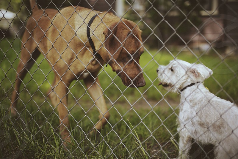 2 dogs near chain link fence photo