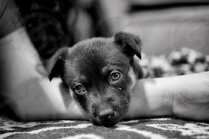 Puppy dog black and white  photo