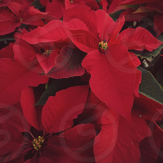 red poinsetta photo