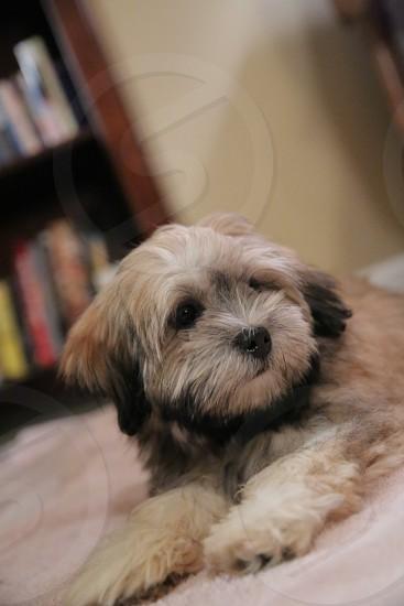 black and white schnauzer puppy photo
