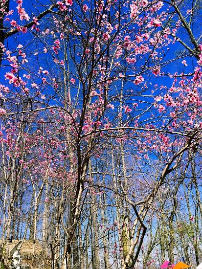 Cherry blossom  photo