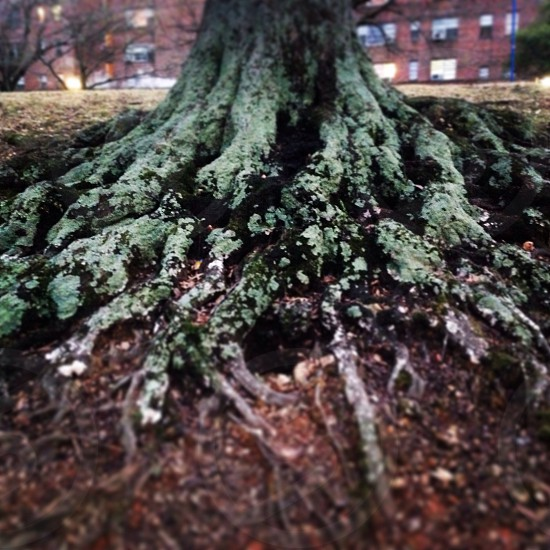 moss covered tree roots  photo