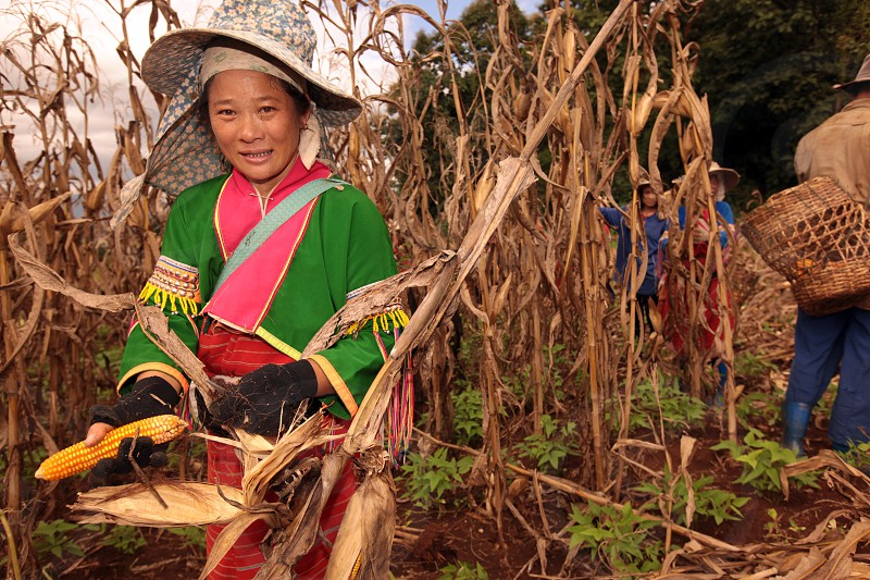 people of the Dara-Ang minority in the corm fields neat the village of Chiang Dao north of the city of chiang mai in the north of Thailand in Southeastasia.  photo