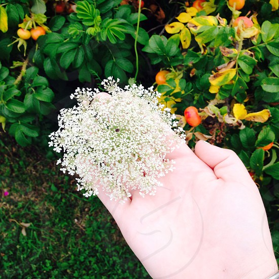 New haven CT. Baby's breath plant. Nature.  photo