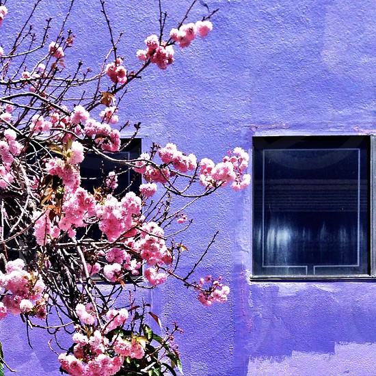 Pink flowers purple wall photo