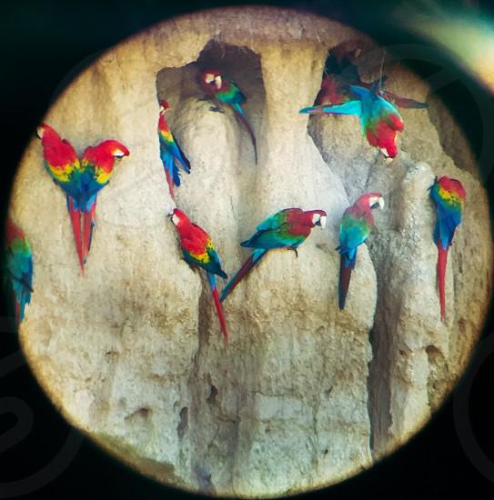 Scarlet Macaws Eating Clay Amazon Jungle Peru photo