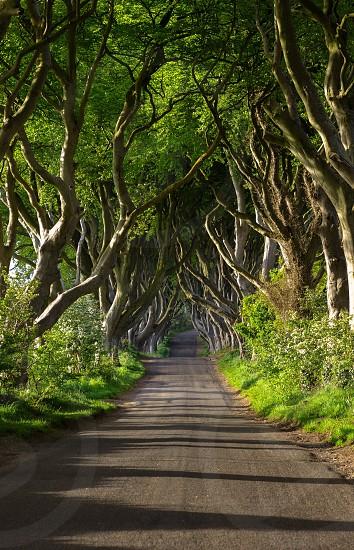 The Dark Hedges . County Antrim  Northern Ireland photo