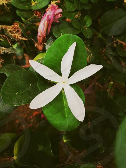 white 5 petaled flower on green leaf photo