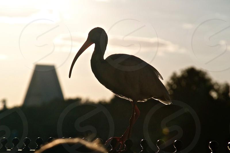 white long billed bird photo