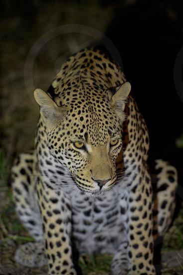 Leopard Eyes photo