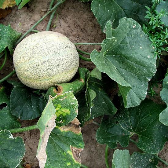 Cantaloupe in garden photo