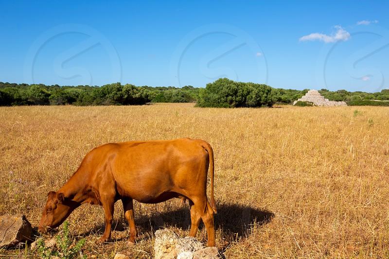 Menorca brown cow grazing in golden field near Ciutadella at Balearic islands photo