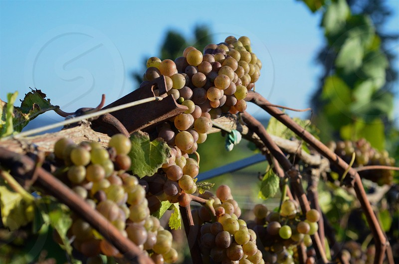 Grapes along an Oregon Vineyard photo