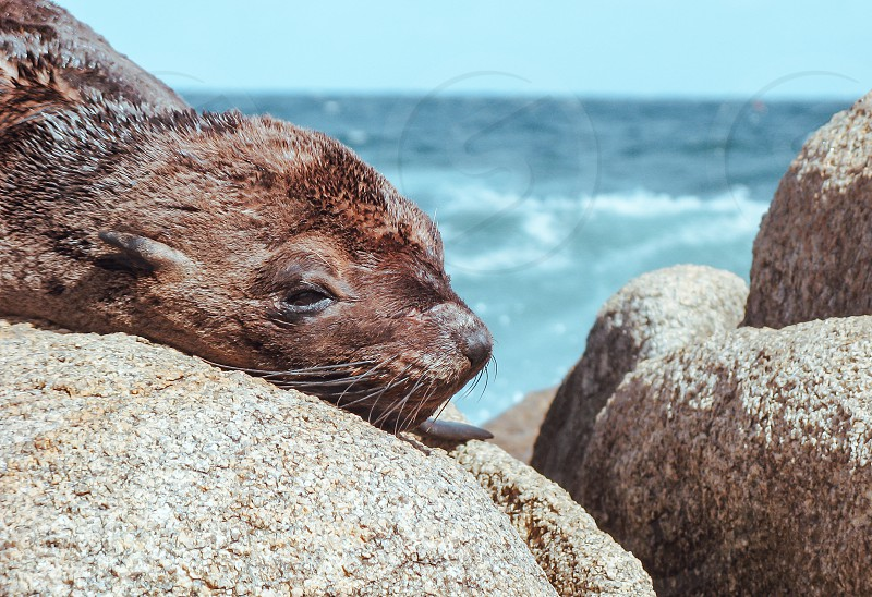 This beautiful brown animal is resting on the beach rocks. photo