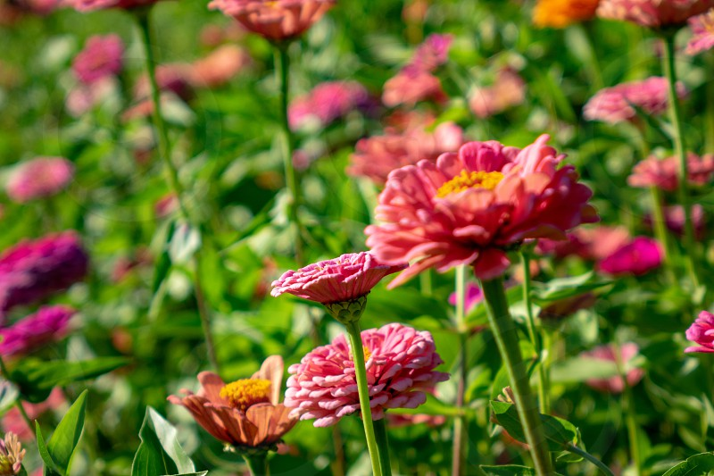 Bright pink flower of zinnia in a rustic garden on a sunny summer day. Natural colorful background photo