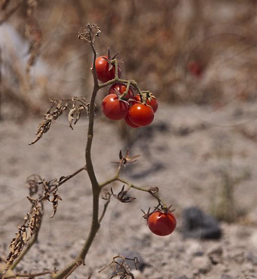 Santorinian cherry tomatoes photo