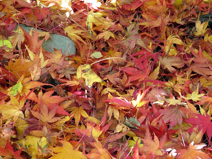 Japanese Maple leaves in front yard Portland OR photo