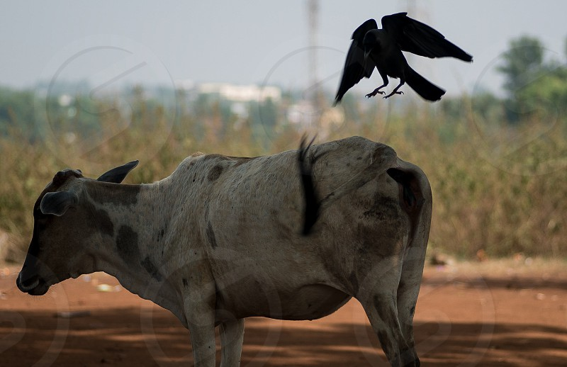 black raven crow fly over the white and brown cow photo
