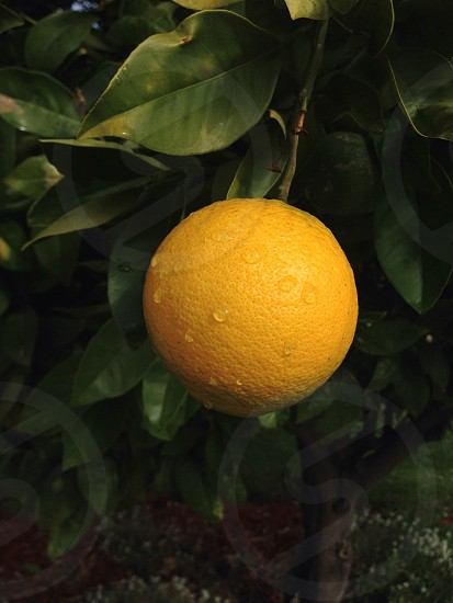 yellow lemon with water dew photo