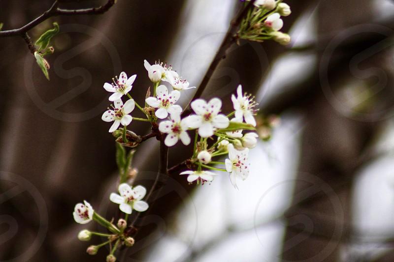 Flowering Pear Tree tree white flowers spring photo