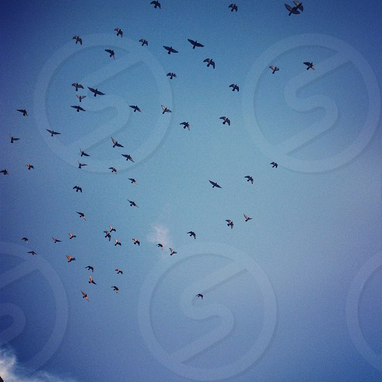 Flock of black birds flying through the blue sky photo