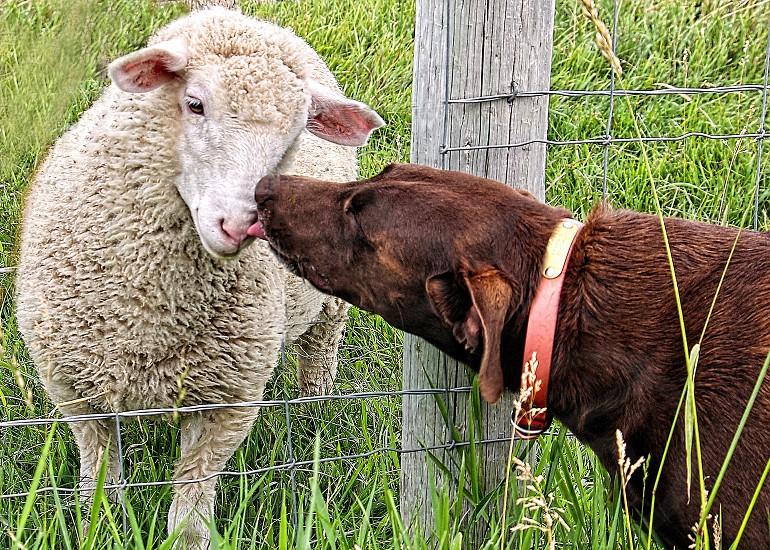 Farm dog licks and kisses a white woolly sheep photo
