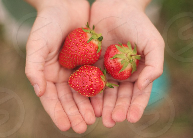 A child's hands holds freshly picked strawberries. photo